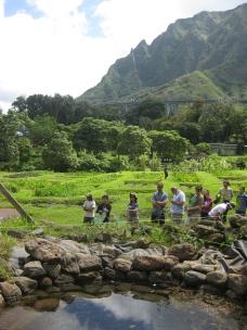 Traditional Hawaiian wetland taro cultivation system.